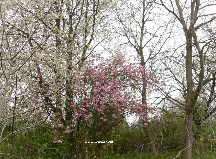 Blog printemps fleurs arbres impressions - Arbre fleur mauve printemps ...